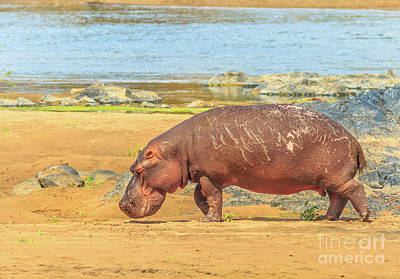 Photograph - Hippo South Africa by Benny Marty