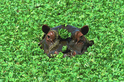 Photograph - Hippopotamus Hippopotamus Amphibius by Eastcott Momatiuk