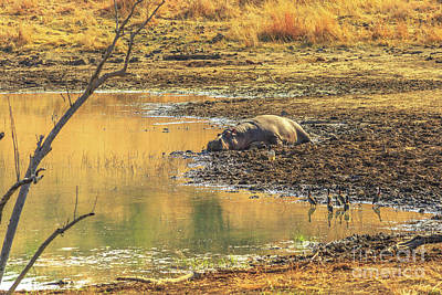 Photograph - Hippopotamus Resting On A River by Benny Marty