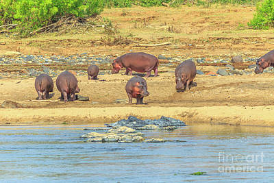 Photograph - Hippos At Olifants River by Benny Marty