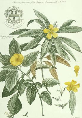 Painting - Historia Plantarum Rariorum By Jacobus Van Huysum Turnera Frutescens by Jacobus Van Huysum
