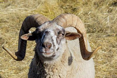 Photograph - Hog Island Sheep 1 by Buddy Scott