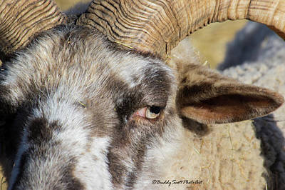 Photograph - Hog Island Sheep 3 by Buddy Scott