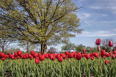 Photograph - Holland Tulip Festival 4 by John McGraw