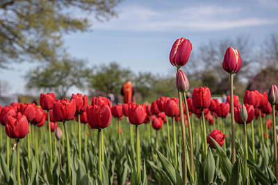 Photograph - Holland Tulip Festival 5 by John McGraw