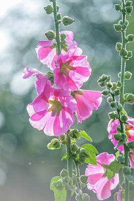 Photograph - Hollyhock Radiant Rose by Jenny Rainbow