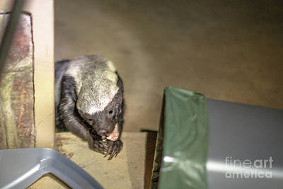 Photograph - Honey Badger Looking For Food by Benny Marty