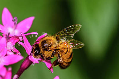 Photograph - Honey Bee by Dheeraj Mutha