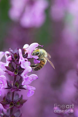 Photograph - Honey Bee On Salvia Flowers by Tim Gainey
