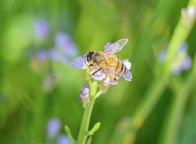 Photograph - Honey Bee With Back Legs Heavily Laden In Pollen by Merrillie Redden