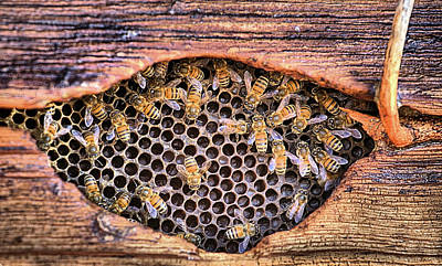 Photograph - Honey Bees by JC Findley