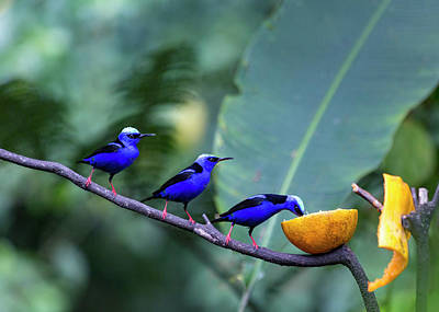Arenal Photograph - Honeycreeper Buffet Line by Betsy Knapp