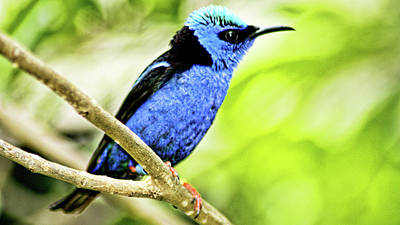 Red Legged Honeycreeper Art Print