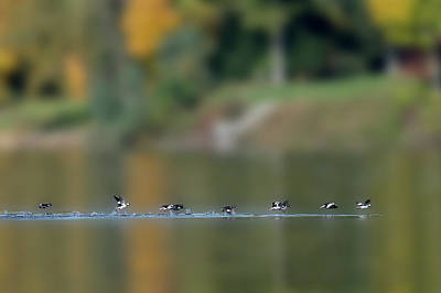 Photograph - Hooded Merganser Ducks On The Water Flying Paintography by Dan Friend