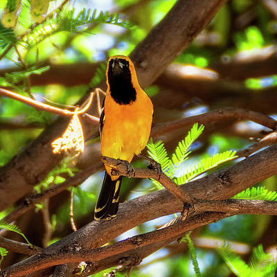 Mark Myhaver Rights Managed Images - Hooded Oriole 1943 Royalty-Free Image by Mark Myhaver