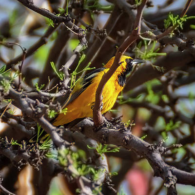Photograph - Hooded Oriole 1956 by Mark Myhaver