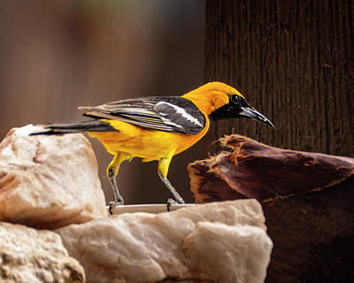 Mark Myhaver Rights Managed Images - Hooded Oriole h1913 Royalty-Free Image by Mark Myhaver