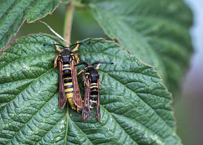 Photograph - Hornet Moths by Robert Potts