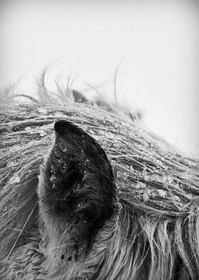 Photograph - Horse, Close-up Of Ear And Mane by Vilhjalmur Ingi Vilhjalmsson