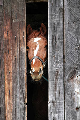 Open Photograph - Horse Peeking Out Of The Barn Door by 2ndlookgraphics