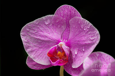 Photograph - Hot Pink And Dripping Wet Orchid by Sabrina L Ryan