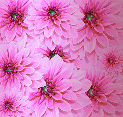 Photograph - Hot Pink Dahlias  by Johanna Hurmerinta