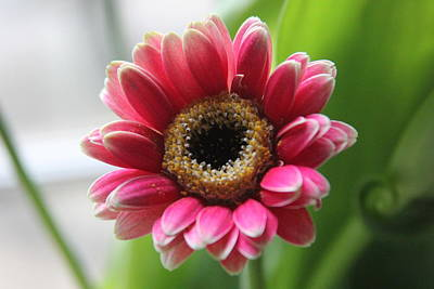 Gaugin Rights Managed Images - Hot Pink Dwarf Gerbera 6 Royalty-Free Image by Cathy Lindsey