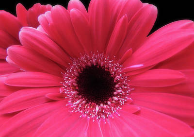 Photograph - Hot Pink Red Gerbera Closeup by Johanna Hurmerinta