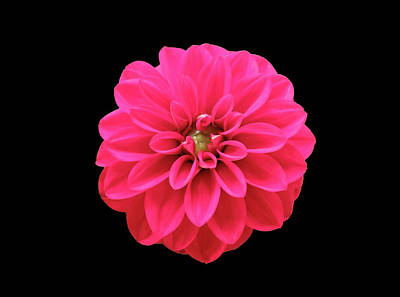 Photograph - Hot Red Summer Dahlia  by Johanna Hurmerinta