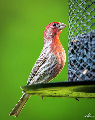 Photograph - House Finch At The Feeder by Philip Rispin