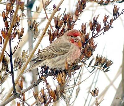 Photograph - House Finch In Winter by Will Borden