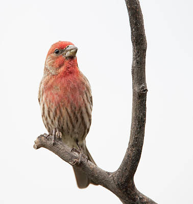 Photograph - House Finch by Philip Rispin