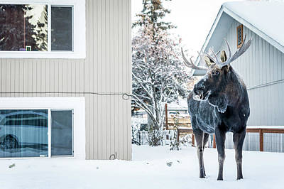 Photograph - House Moose by Framing Places