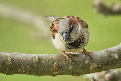 Photograph - House Sparrow Giving Me The Eye by Belinda Greb