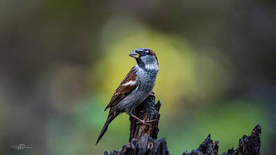 Photograph - House Sparrow In The Spot by Torbjorn Swenelius