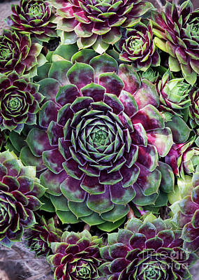 Photograph - Houseleek by Tim Gainey
