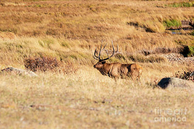 Photograph - Huge Elk In Rocky Mountain National Park by Steve Krull