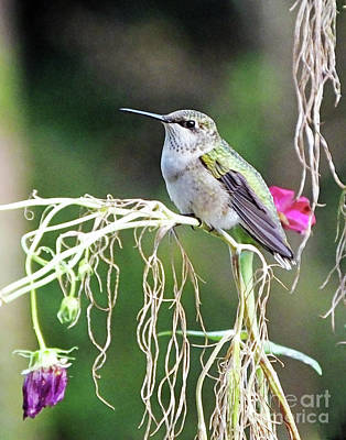 Photograph - Hummingbird 105 by Lizi Beard-Ward