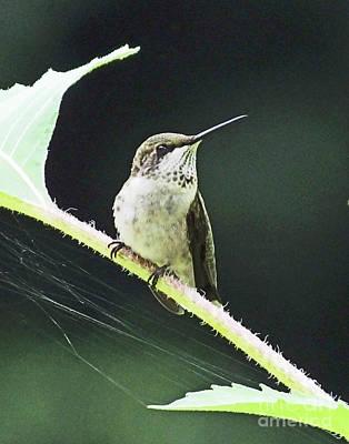 Photograph - Hummingbird 55  Ruby Throated Immature by Lizi Beard-Ward