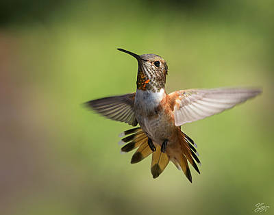 Photograph - Hummingbird 6 by Endre Balogh