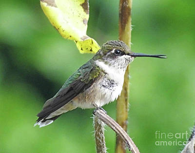 Photograph - Hummingbird 62 by Lizi Beard-Ward