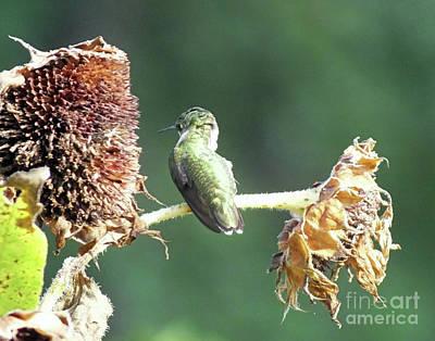 Photograph - Hummingbird 63 by Lizi Beard-Ward