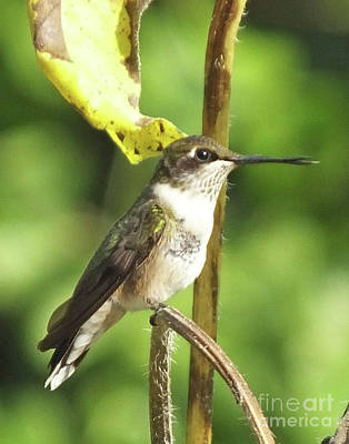 Photograph - Hummingbird 69 by Lizi Beard-Ward