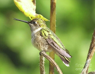 Photograph - Hummingbird 72 by Lizi Beard-Ward