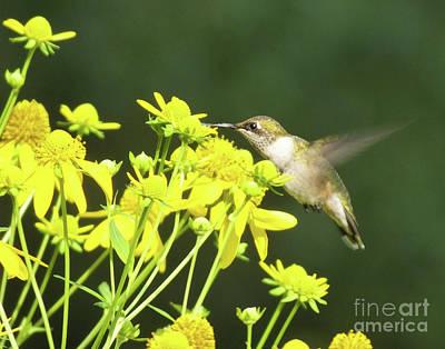 Photograph - Hummingbird 76 by Lizi Beard-Ward