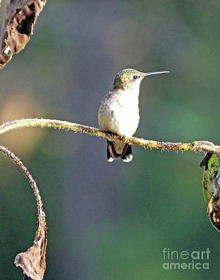 Photograph - Hummingbird 82 by Lizi Beard-Ward