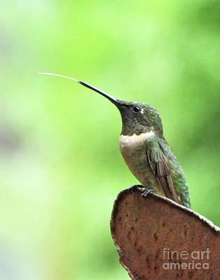 Photograph - Hummingbird 91 by Lizi Beard-Ward