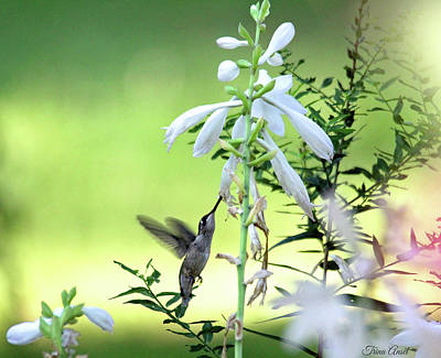 Photograph - Hummingbird And Hosta Flowers by Trina Ansel