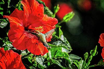 Photograph - Hummingbird And Red Hibiscus In The Garden 3 by Lynn Bauer