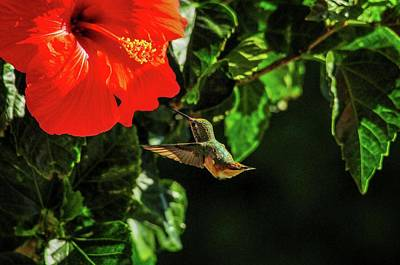 Photograph - Hummingbird And Red Hibiscus In The Garden by Lynn Bauer